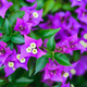 close-up bougainvillea or bougainville violet flower on green leaves background - PhotoDune Item for Sale
