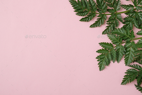 Green leaves on a pastel pink background with copy space - Stock Photo - Images