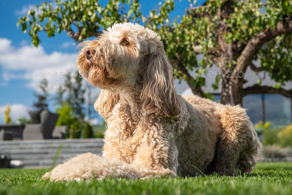 Obedient Goldendoodle Dog Relaxing in the Sun - Stock Photo - Images