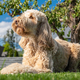 Obedient Goldendoodle Dog Relaxing in the Sun - PhotoDune Item for Sale