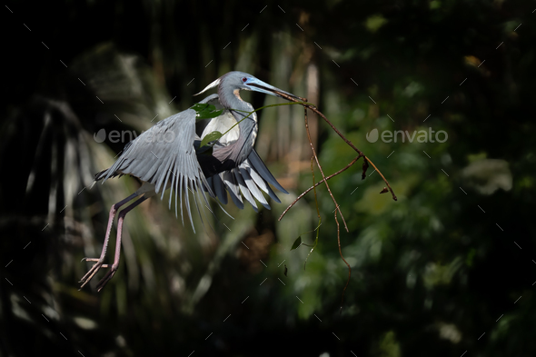 Tri-colored Heron with Stick - Stock Photo - Images