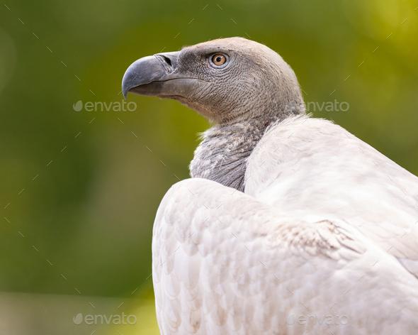 Cape Vulture - Stock Photo - Images