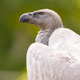 Cape Vulture - PhotoDune Item for Sale