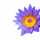 purple water lily isolated - PhotoDune Item for Sale