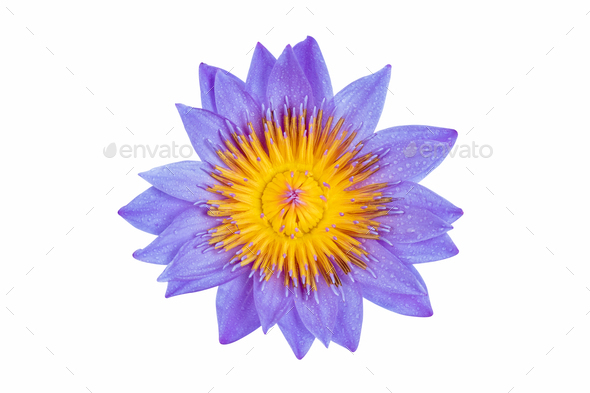water lily in full bloom - Stock Photo - Images