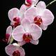 phalaenopsis orchid flowers - PhotoDune Item for Sale