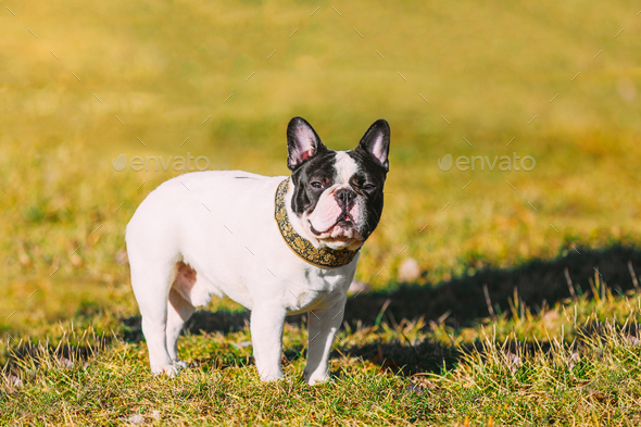 Beautiful French Bulldog Puppy Dog Outdoor In Spring Park - Stock Photo - Images