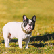 Beautiful French Bulldog Puppy Dog Outdoor In Spring Park - PhotoDune Item for Sale