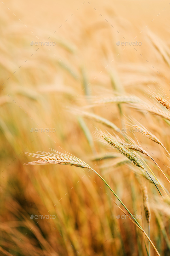 Ripe barley crops in cultivated field - Stock Photo - Images