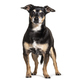 Old black and brown Pinscher Dog, isolated - PhotoDune Item for Sale