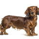 Standing dachshund looking at the camera isolated on white - PhotoDune Item for Sale