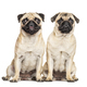 Two Pugs sitting together, dog, isolated on white - PhotoDune Item for Sale