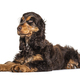 Lying Brown English cocker spaniel dog isolated on white - PhotoDune Item for Sale