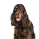 Close-up on a breown panting English Cocker Spaniel, isolated - PhotoDune Item for Sale
