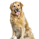 Panting Golden Retriever dog sitting in front of white - PhotoDune Item for Sale