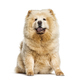Panting Chow Chow showing its blue tongue, isolated on white - PhotoDune Item for Sale