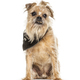 Old Griffon Bruxellois dog showing the tartar on its tooth - PhotoDune Item for Sale