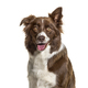 Close-up of a Border Collie, isolated on white - PhotoDune Item for Sale