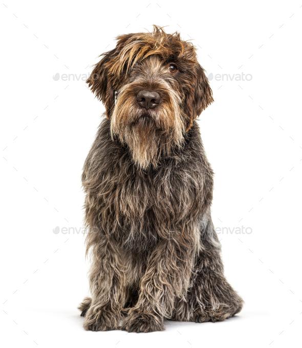 Korthals Griffon dog, isolated on white - Stock Photo - Images