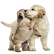 Retriever and pug puppies playing together, isolated on white - PhotoDune Item for Sale