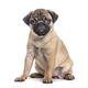 Young pug, puppy, sitting, isolated on white - PhotoDune Item for Sale