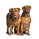 Couple of Dogue de Bordeaux sitting together, isolated on white - PhotoDune Item for Sale