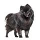 Sitting black Pomeranian dog panting, isolated on white - PhotoDune Item for Sale