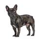 Brindle French bulldog blue eyed, standing, isolated on white - PhotoDune Item for Sale