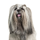 Headshot of a panting Groomed Lhasa apso dog, isolated on white - PhotoDune Item for Sale