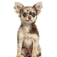 Sitting Chihuahua, isolated on white - PhotoDune Item for Sale