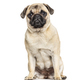 Sitting Pug, isolated on white - PhotoDune Item for Sale