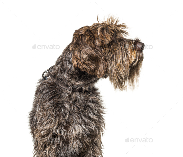 Head shot of a Korthals Griffon isolated on white - Stock Photo - Images