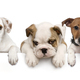 Group of dogs, pets, leaning on a white empty board - PhotoDune Item for Sale