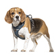 Beagle with a harness, isolated on white - PhotoDune Item for Sale