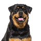 Close-up on a happy Rottweiler dog, isolated on white - PhotoDune Item for Sale