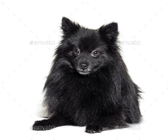 Black Pomeranian lying, isolated on white - Stock Photo - Images
