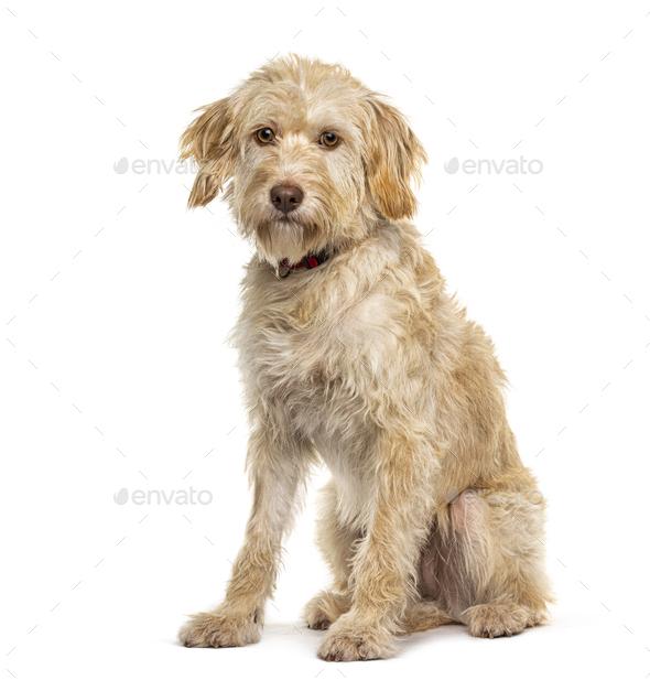 Sitting Crossbreed dog, isolated on white - Stock Photo - Images