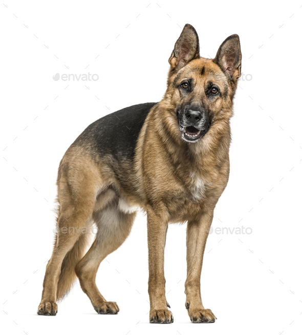 German Shepherd standing, isolated on white - Stock Photo - Images