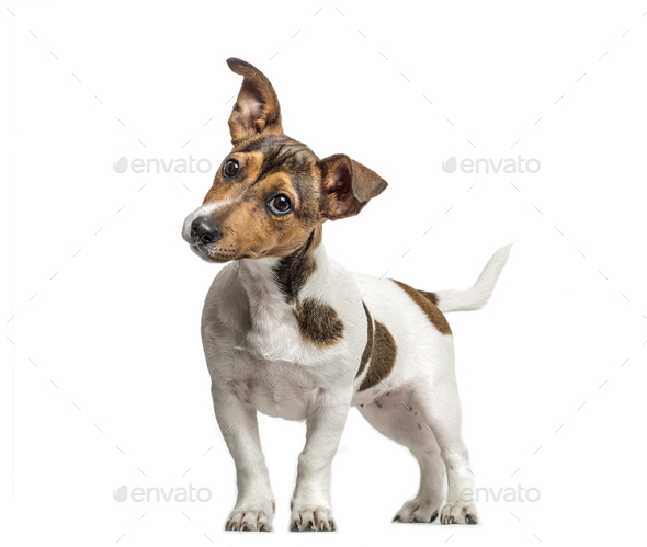 Jack Russell standing and bending head, isolated on white - Stock Photo - Images