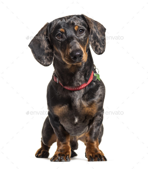 Dachshund wearing a collar, isolated on white - Stock Photo - Images