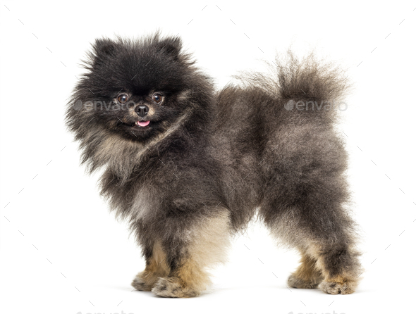 Side view of a Standing Pomeranian, isolated on white - Stock Photo - Images