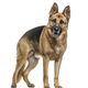 German Shepherd standing, isolated on white - PhotoDune Item for Sale