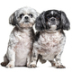 Two Shih Tzu dogs in a row, isolated on white - PhotoDune Item for Sale