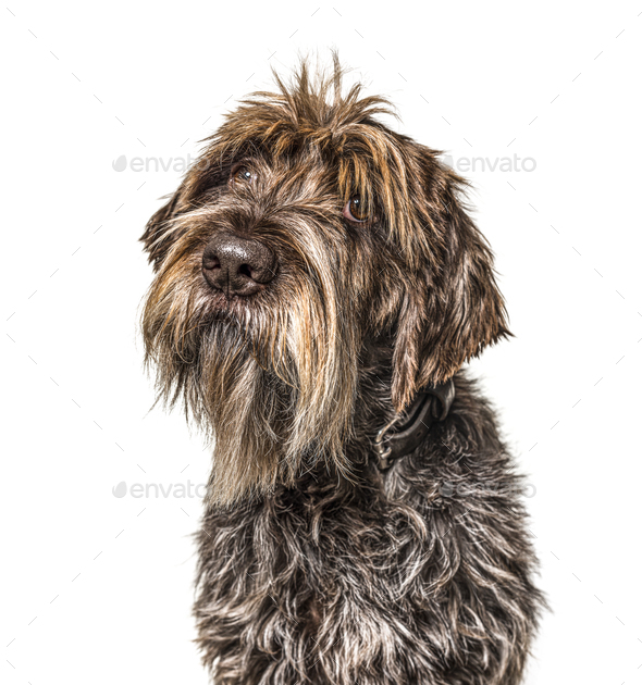 Head shot of a shaggy dog, Korthals Griffon, isolated on white - Stock Photo - Images
