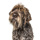 Head shot of a shaggy dog, Korthals Griffon, isolated on white - PhotoDune Item for Sale