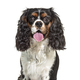 Headshot of a Panting Cavalier King Charles, isolated on white - PhotoDune Item for Sale