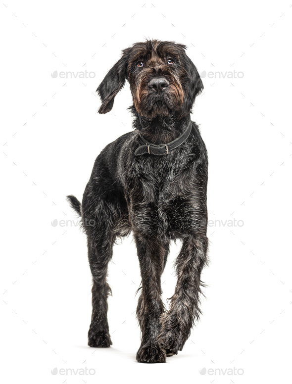 German Wirehaired Pointer,Korthals dog, isolated on white - Stock Photo - Images