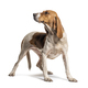 Standing Artois Hound isolated on white - PhotoDune Item for Sale