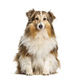 Sitting Shetland Sheepdog, isolated on white - PhotoDune Item for Sale