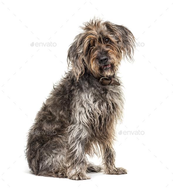 Sitting brown Shaggy Korthals Griffon dog, isolated on white - Stock Photo - Images